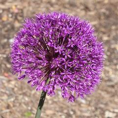 Lombard, IL, Lilacia Park, Lavender Globe Allium Flower (Mary Warren 13.6+ Million Views) Tags: lombardil lilaciapark garden park nature flora plants purple bloom blossom flower lavender globeallium