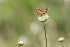 Mélitée des Centaurées (Richard Holding) Tags: m43 olympus omd melitaea phoebe mélitée des centaurées grand damier papillon butterfly