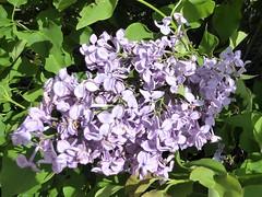 Lombard, IL, Lilacia Park, Pale Violet Lilac Flowers (Mary Warren 13.6+ Million Views) Tags: lombardil lilaciapark garden park nature flora plants bloom blossom flower purple violet lilac
