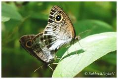 Love is beautiful (Doklas M Boyke) Tags: smileonsaturday butterflies nature macro saariysqualitypictures