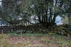 El muro (SantiMB.Photos) Tags: 2blog 2tumblr 2ig santjoanlesfonts garrotxa girona invierno winter boscarró muro wall ruinas ruins árbol tree geo:lat=4221473750 geo:lon=251058625 geotagged cataluna españa