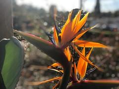 Bird of paradise (elena_photos) Tags: blossom birdofparadise flower