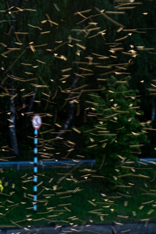 фото: Комары-звонцы / Chironomidae mosquitoes
