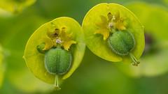 Duo (ZeGaby) Tags: euphorbe fleurs flowers focusstacking macrophotography nature naturephotography pentax100mmmacro pentaxk1 fontainesuray marne france