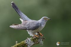 Cuckoo (Simon Stobart) Tags: cuckoo cuculus canorus north east england uk not colin ngc