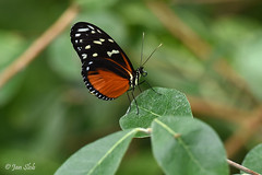 Heliconius Hecale (Jan Slob) Tags: rotterdam zuidholland blijdorp netherlands holland vlinder heliconiushecale nikon nikond750 smileonsaturday butterflies butterfly ©allrightsreserved nikon7020028 macro groen green