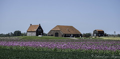 Dutch farm at the Biesbosch - Holland (Eduard van Bergen) Tags: farm farming dutch holland papaver somniferum kroonweg farmer kievitswaard biesbosch plants barn cottage house field flowers agriculture fujifilm fujinon xc50230oisii boer boerin fujixe1 poppy seed blue 35mm 135 polder inundated land nature