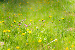 (kuuan) Tags: mf manualfocus supertakumarf1450mm 8element f14 50mm takumar flower garden supertakumar firstversion wiese blume meadow austria fruehlingswiese blumenwiese dof bokeh macro closefocusing helicoidadapter wideopen