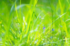 (kuuan) Tags: mf manualfocus supertakumarf1450mm 8element f14 50mm takumar flower garden supertakumar firstversion wiese blume meadow austria dof bokeh macro closefocusing helicoidadapter wideopen