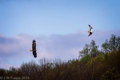 The Chase (jwfuqua-photography) Tags: osprey eagles nature buckscounty peacevalleynaturecenter jerrywfuqua pennsylvania birds buckscountyparks jwfuquaphotography birdsofprey