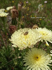 Chitarìdd's Day 25-05-2019   (33) (Guest0835) Tags: macro fiore flower ragno spider