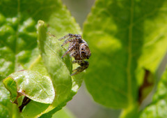 Hunter of today (silwermannen) Tags: hoppspindel macro spider jumpingspider nature nikon d7100