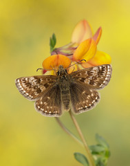 Dingy Skipper Erynnis tages (Iain Leach) Tags: wildlifephotography photograph image wildlife nature iainhleach wwwiainleachphotographycom canon canoncameras photography macro macrophotography closeup butterfly moth lepidoptera insect invertebrate dingyskipper erynnistages dunfriesandgalloway