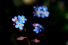 Not forgotten (Ron and Co.) Tags: forgetmenot myosotisarvensis blue flower lowkey contrast light garden plant bokeh