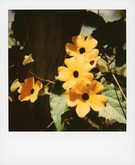 Hollywood Spring - Black-eyed Susan Vine (tobysx70) Tags: polaroid originals color 600 instant film slr680 hollywood spring blackeyed susan vine beachwood drive canyon hills los angeles la california ca thunbergia alata flower yellow petal herbaceous perennial plant green leaves acanthaceae bokeh toby hancock photography