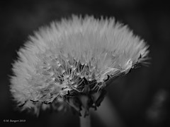 Head (markbangert) Tags: löwenzahn dandelion flower head seeds d850 nikon fx