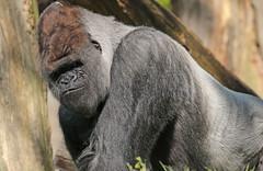 western lowlandgorilla Bokito Blijdorp 094A0510 (j.a.kok) Tags: blijdorp bokito gorilla westernlowlandgorilla westelijkelaaglandgorilla ape aap monkey mensaap primaat primate mammal africa afrika zoogdier dier