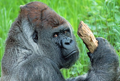 Western lowlandgorilla Bokito Blijdorp 094A1118 (j.a.kok) Tags: blijdorp bokito gorilla westernlowlandgorilla westelijkelaaglandgorilla ape aap monkey mensaap primaat primate mammal africa afrika zoogdier dier