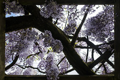 Framed Wisteria (Paulie-W) Tags: wisteria plant flower frombelow framed nature