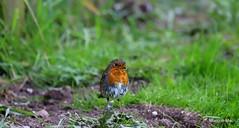 Kind of wet (mootzie) Tags: robin bird wildlife wet scruffy red garden grass scotlandaberdeenshire