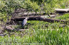 Great Blue Heron 2 (DL_Dietz) Tags: oakwoodmetropark wildlife greatblueheron bird michigan northamerica unitedstates naturephotography natur coth5 animals canoneos6d