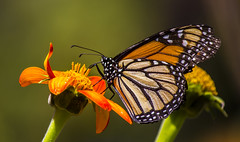 butterfly (verona39) Tags: butterfly smileonsaturday butterflies nature garden monarch macro