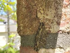 20190523_IMG_0229 (Gertjan Kamsteeg) Tags: animal invertebrate bug macro insect moth nachtvlinder spanner geometridae geometermoth willowbeauty taxusspikkelspanner peribatodesrhomboidaria