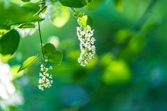 Blossom (gubanov77) Tags: blossom flora flowers nature bloom spring may green greenery dof macro bokeh kuzminki lublino moscow russia