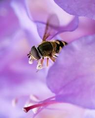 Bee heaven (Lux Aeterna - Eternal Light) Tags: bee flower macro