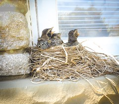 The Three Amigos (PEEJ0E) Tags: psexpress nestlings spring nest chicks robin