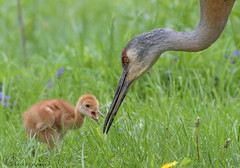 Sandhill C & Colt (142) (Estrada77) Tags: sandhillcrane bigbirds birds birding nature animals nikon nikond500200500mm may2019 spring2019 wildlife outdoors cookcounty illinois