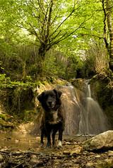 Jiga des ruisseaux (leon.vaillat) Tags: jura chien cascade eau ruisseau nature arbres lumière