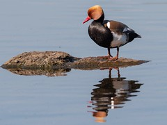 Red Crested Pochard enjoying the sunshine 😊 (Ted Smith 574) Tags: red crested pochard