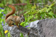 Red Squirrel (kevinwg) Tags: red squirrel american redsquirrel male americanredsquirrel