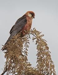 Falco Cuculo (f) (Marcello Giardinazzo) Tags: falcocuculo avifauna rapaci hawk natura wild bird uccelli
