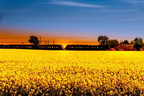 Golden yellow field