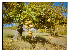 Erntereif (plastiCtroglodyte) Tags: franken herbst portra400 manualfocus film wiese mamiya apfelbaum baum natur mittelformat feldrand streuobstwiese streitberg 6451000s äpfel fränkischeschweiz kodak analog 120 franconia autumn mediumformat apple tree nature wandern hiking orchard