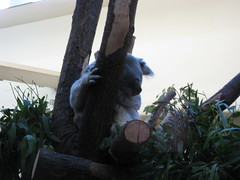 Koala (✿ Esfira ✿) Tags: tiergartenschönbrunn viennazoo koala wien vienna österreich austria