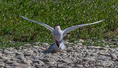 Le grand jeu ;-) (Régis B 31) Tags: charadriiformes commontern laridés sternahirundo sternepierregarin ariège bird domainedesoiseaux mazères oiseau accouplement france occitanie midipyrénées