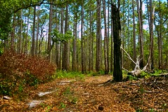 Old Fire Road (surfcaster9) Tags: fireroad trees pines dirt nature forest florida lumix20mmf17llasph lumixg7 outdoors