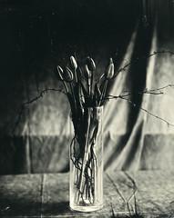 Tulips and branches (Rosenthal Photography) Tags: schneiderkreuznachxenar300mm35 aluminotypie leasportrait3 148 epsonv800 f8 kollodium 20190501 nasplatte 8x10 grosformat ilfordrapidfixer tintypie vocecamera8x10tc analog 3min33sek voce tc vtc schneiderkreuznach sk 300mm f35 35min xenar collodion wetplate tintype aluminotype ilford rapid fixer epson v800