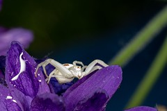White Crab Spider (Boydz Photography) Tags: white purple bug macro spider crabspider boydzphotography