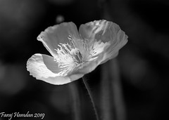 DSC_0549 (farajalhattab) Tags: flower nikon d7200 sigma 105mm 28 micro garden black white dark light