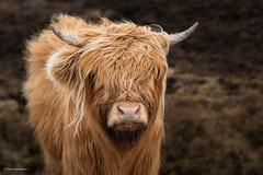 Hielan Coos (He Ro.) Tags: 2019 applecrosspass highlandcattle schottland scotland winter hairycoos highlandcows highlands applecross uk animal
