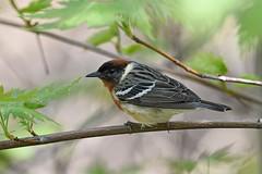 Bay-breasted Warbler (kevinwg) Tags: bird tree leaves branch baybreasted warbler baybreastedwarbler