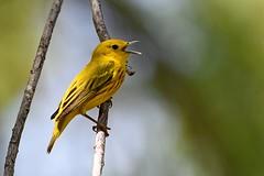 Yellow Warbler (kevinwg) Tags: bird tree leaves branch yellow warbler yellowwarbler male