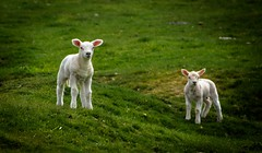 Duo (Phil-Gregory) Tags: nikon d7200 sigma18250macro zoom wideangle lambs animal peakdistrictderbyshire peakdistrict green