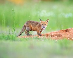 Tongue and Cheek... (DTT67) Tags: kit foxkit redfox fox 1dxmkii canon nature wildlife