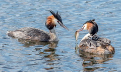 DSC6443  Grebes.. (Jeff Lack Wildlife&Nature) Tags: greatcrestedgrebe grebe grebes birds bird avian animal animals wildlife wildbirds wetlands waterbirds wildlifephotography jefflackphotography reservoirs reeds reedbeds riverbirds rivers estuaries estuary countryside coastalbirds nature coth coth5