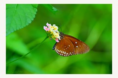 Butterfly (ruthehrhardt) Tags: smileonsaturday butterfly butterflies nature outdoor nikond5300